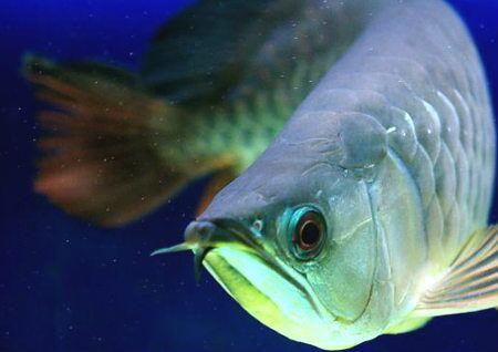 金龙鱼的风水作用