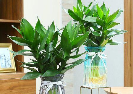 富贵竹的风水作用