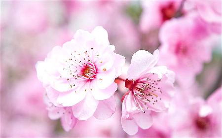 招桃花摆放什么植物好