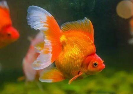 家里养几条鱼风水最好