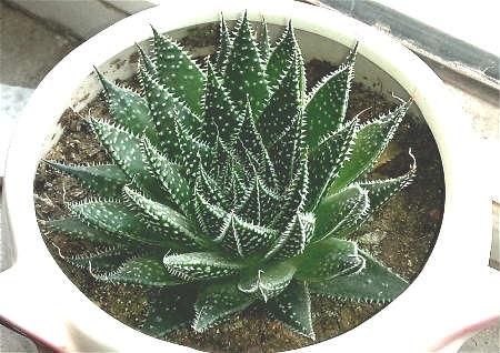 家里养带刺的植物风水