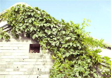 藤类植物在院子风水