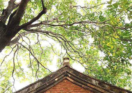 农村住宅风水树