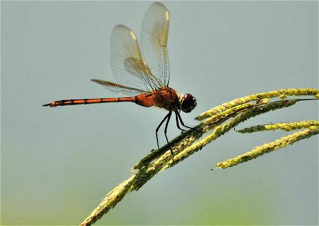 蜻蜓代表的风水
