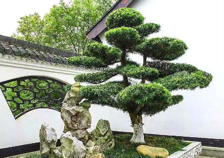 后院种什么树风水最好