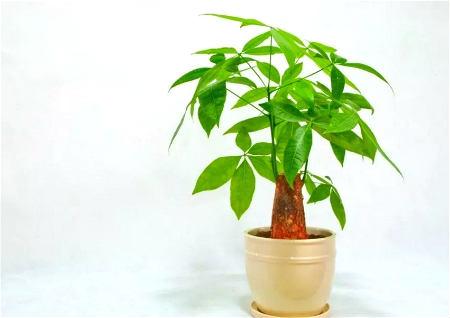 发财树摆放在客厅哪里最旺