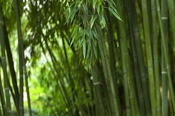 住宅大门旁种竹子好不好