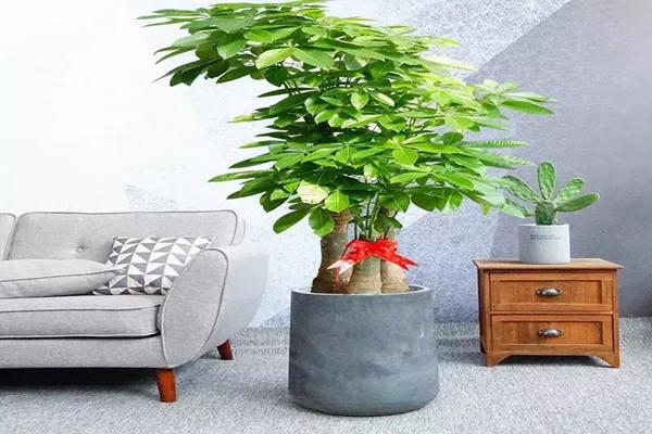 风水植物之发财树的摆放讲究
