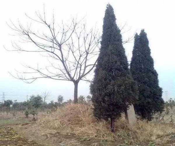 坟墓前种什么树旺子孙